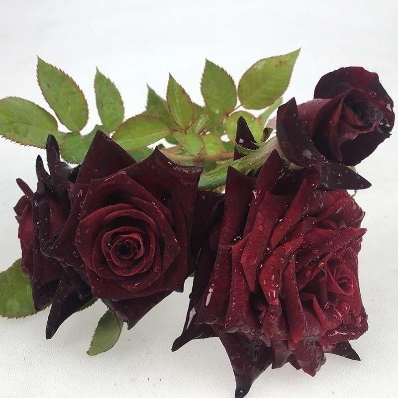Rosa Black baccara