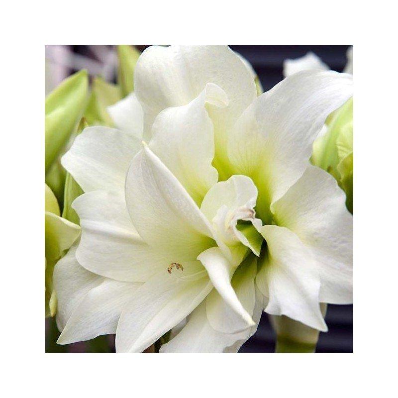Amaryllis Christmas gift. Blanco 1 ud