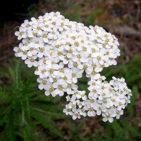Semillas de Achilea millefolium. Milenrama