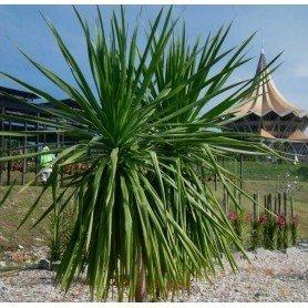 Yucca 0.2 gr