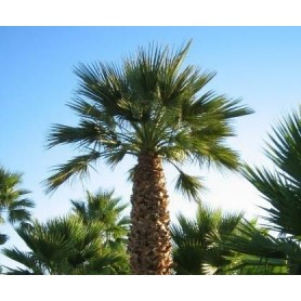 Washingtonia filifera 1 gr