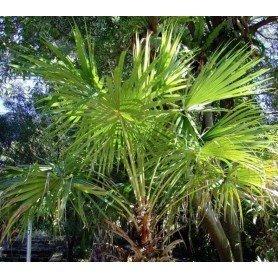 Livistona australis 3 gr