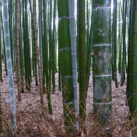 Phyllostachys pubescens C-15