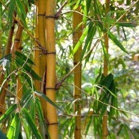 Phyllostachys bambusoides Holochrysa C-7