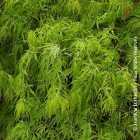 Acer palmatum disectum viridis