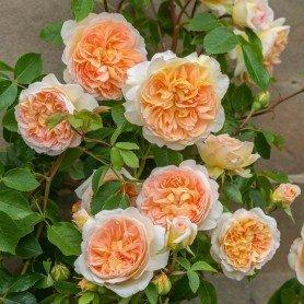 Rosa Bathsheba clg