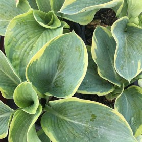 Hosta Frances Willians