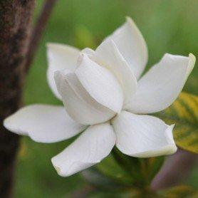 Jazmín del cabo. Gardenia