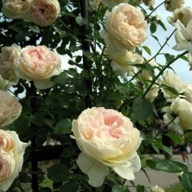 Rosa Mon Jardin et ma Maison