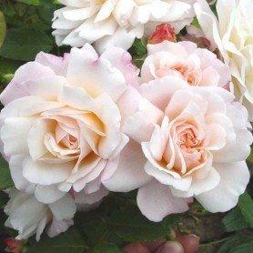 Rosa Gruss an Aachen