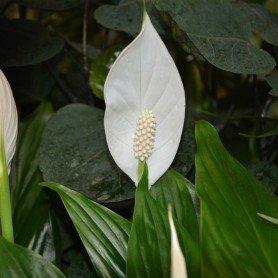 Cuna de Moises - Spathiphyllum
