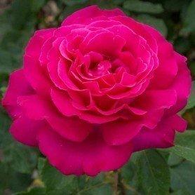 Rosa Velasquez