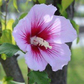 Hibiscus syriacus Mathilde