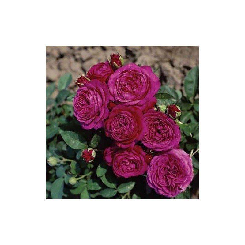 Rosa Heidi Klum Rose