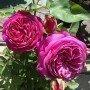 Rosa J.W. Goethe rose