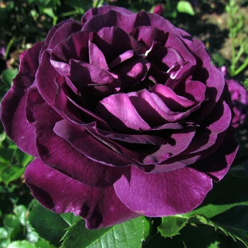 Rosa Minerva
