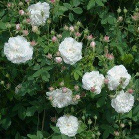 Rosa Mme Plantier