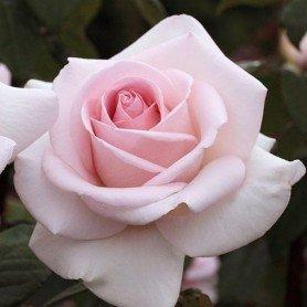 Rosa Prince Jardinier