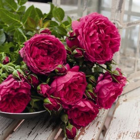 Rosa Soul