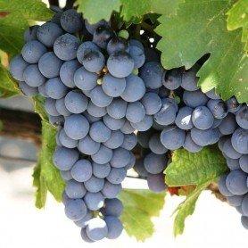 Uva vino Cabernet Sauvignon