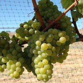 Uva vino Chardoney