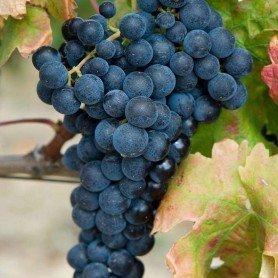 Uva vino tinto Garnacha