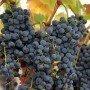 Uva vino Tempranillo Rioja