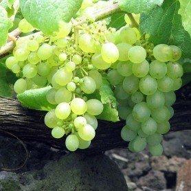 Uva vino Verdejo