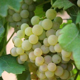 Uva de vino Viura