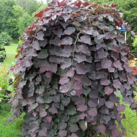 Cercis canadiensis Ruby Falls