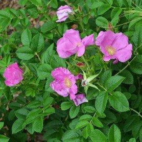 Rosa rugosa Dagmar Hastrup