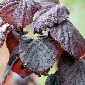 Corylus avellana Red Majestic