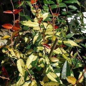 Trachelospermun asiaticum Ogon Nishiki