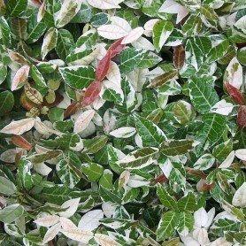 Trachelospermum jasminoide Variegatum