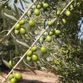 Olivos Arroniz