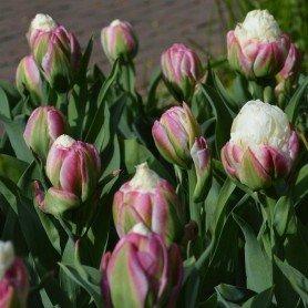 Tulipan Ice Cream