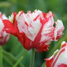 Tulipan Estrella Rijnveld