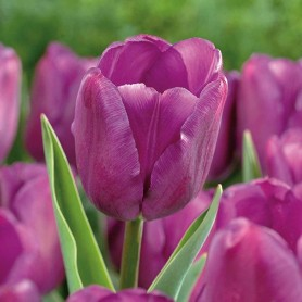 Tulipan Purple Flag