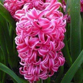 Jacinto Pink Pearl