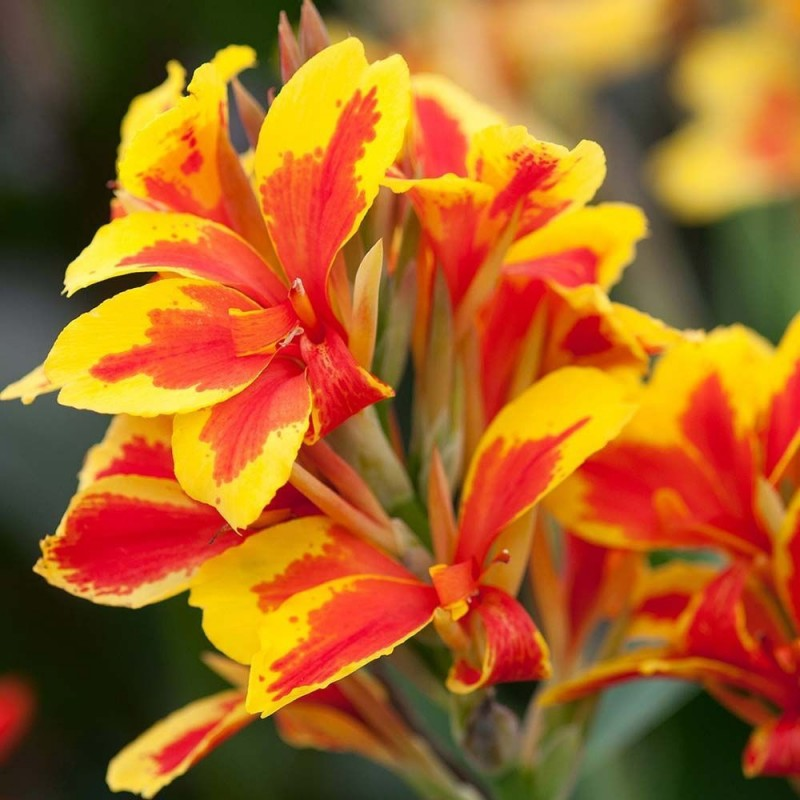 Canna Queen Charlotte