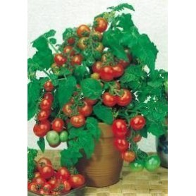 Tomate cerise red cherry 3 g