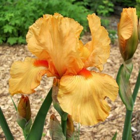 Iris Germánica naranja