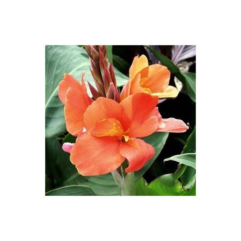 Canna Peach Blush