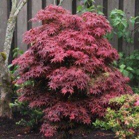 Acer palmatum Brandt´s Dwarf