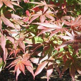 Acer palmatum Tromperburg