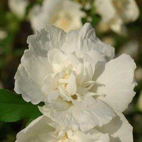 Hibiscus syriacus White Chiffon