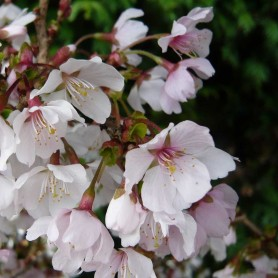 Prunus incisa Kojo No Mai