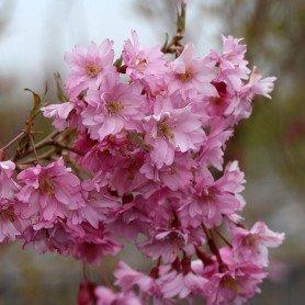Prunus x subhirtella Fukubana