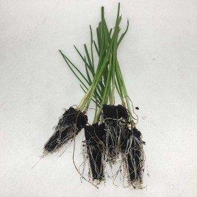 Plantero cebolla fuentes