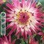 Dalia cactus Veritable 1 ud